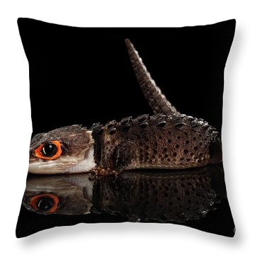 Throw Pillow featuring the photograph Closeup Red-eyed Crocodile Skink, Tribolonotus Gracilis, Isolated On Black Background by Sergey Taran