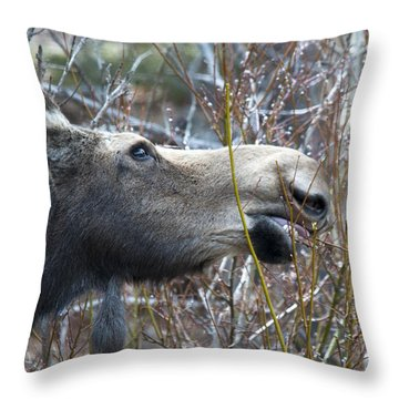 Cow Moose Dining On Willow Throw Pillow