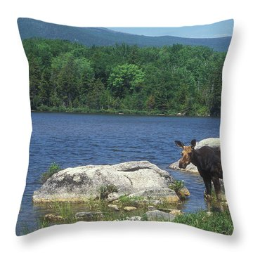 Cow Moose With Bull In Pond Throw Pillow