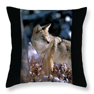 Coyote In Winter Light Throw Pillow
