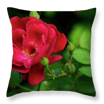 Throw Pillow featuring the photograph Crimson Red Rose By Kaye Menner by Kaye Menner