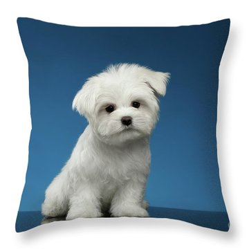 Cute Pure White Maltese Puppy Standing And Curiously Looking In Camera Isolated On Blue Background Throw Pillow by Sergey Taran