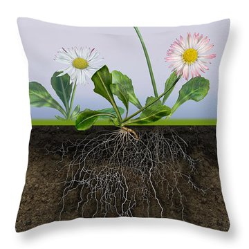 Throw Pillow featuring the painting Daisy Bellis Perennis - Root System - Paquerette Vivace - Margar by Urft Valley Art