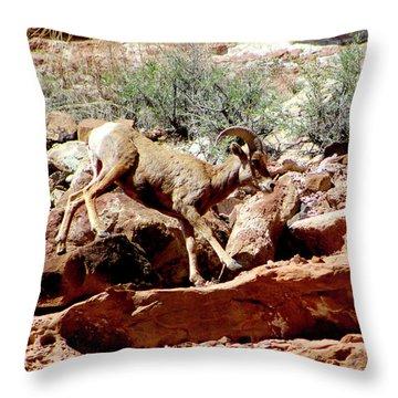 Desert Bighorn Ram Walking The Ledge Throw Pillow