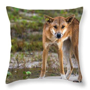 Dingo On 75 Mile Beach, Throw Pillow