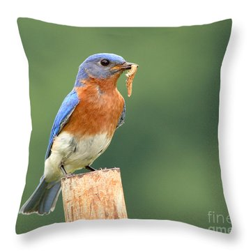 Throw Pillow featuring the photograph Eastern Bluebird With Caterpillar Lunch by Max Allen