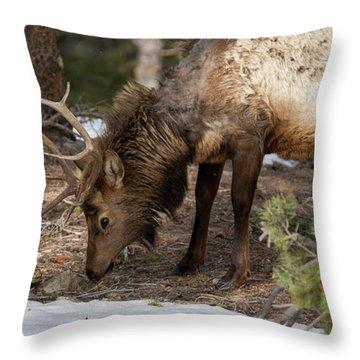 Elk Grazing In Rocky Mountain National Park Throw Pillow