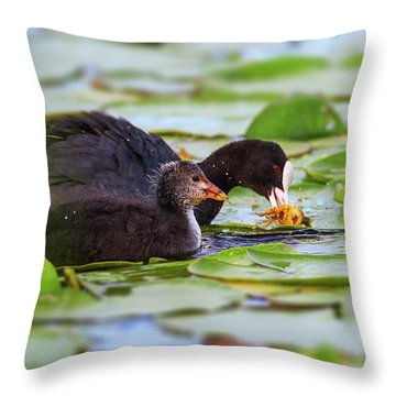 Eurasian Or Common Coot, Fulicula Atra, Duck And Duckling Throw Pillow by Elenarts - Elena Duvernay photo
