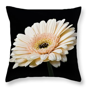 Throw Pillow featuring the photograph Gerbera Daisy On Black II by Clare Bambers