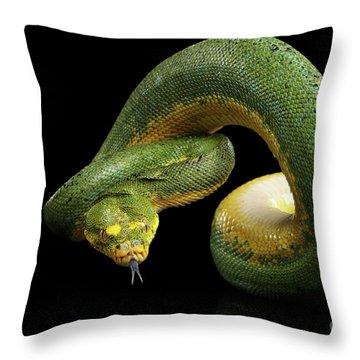 Throw Pillow featuring the photograph Green Tree Python. Morelia Viridis. Isolated Black Background by Sergey Taran