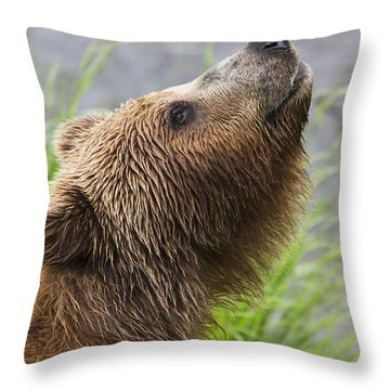 Grizzly Bear Sniffing Air While Fishing Throw Pillow by Lucas Payne