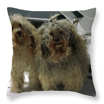 Havanese Dogs Throw Pillow by Sally Weigand