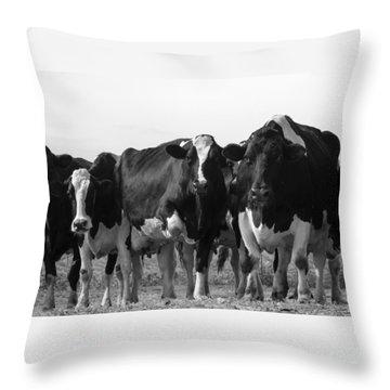 Curious Holsteins Throw Pillow