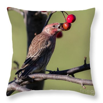 House Finch Vs Crabapple  Throw Pillow