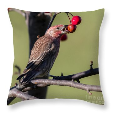 House Finch Vs Crabapple  Throw Pillow by Ricky L Jones
