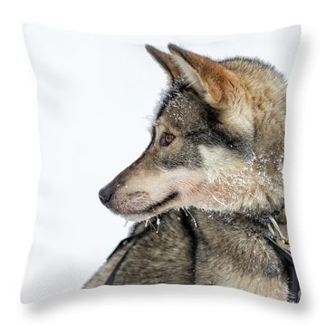 Throw Pillow featuring the photograph Husky Dog by Delphimages Photo Creations