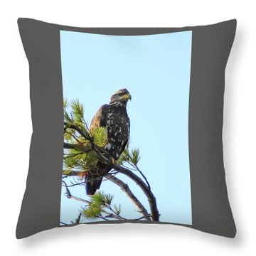 Immature Bald Eagle 1 Throw Pillow