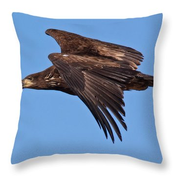 Immature Bald Eagle Fly-by Throw Pillow