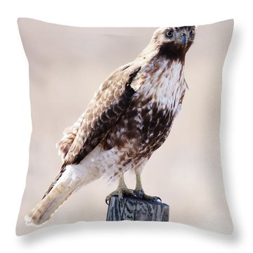 Immature Red Tailed Hawk Throw Pillow