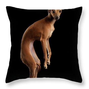 Throw Pillow featuring the photograph Italian Greyhound Dog Jumping, Hangs In Air, Looking Camera Isolated by Sergey Taran