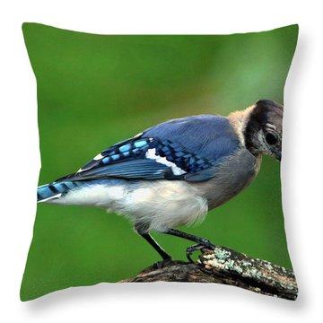 Juvenile Blue Jay  Throw Pillow
