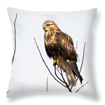 Juvenile Rough-legged Hawk  Throw Pillow by Ricky L Jones