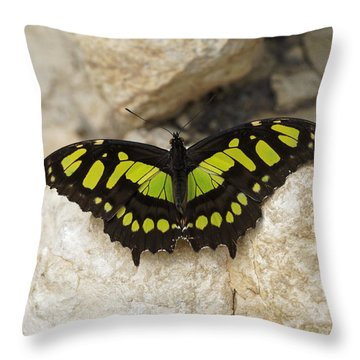 Throw Pillow featuring the photograph Malachite Butterfly - Siproeta Stelenes by Paul Gulliver