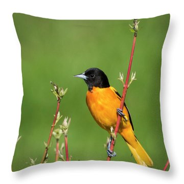 Male Baltimore Oriole Posing Throw Pillow