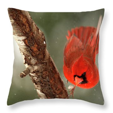 Throw Pillow featuring the photograph Male Cardinal Take Off by Darren Fisher