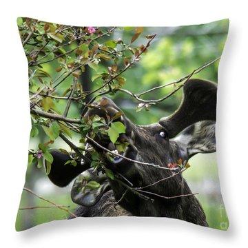 Moose Eating Crab Apple Tree Throw Pillow