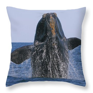 North Atlantic Right Whale Breaching Throw Pillow