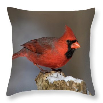 Throw Pillow featuring the photograph Northern Cardinal In Winter by Mircea Costina Photography