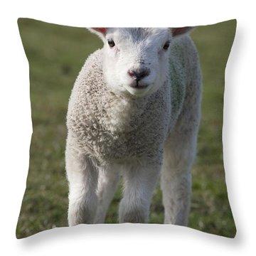 Northumberland, England A White Lamb Throw Pillow
