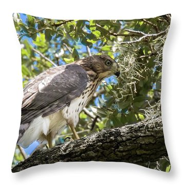 Red-shouldered Hawk Fledgling - 4 Throw Pillow