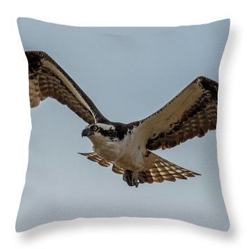 Osprey Flying Throw Pillow by Paul Freidlund