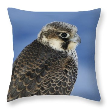 Peregrine Falcon Juvenile Close Up Throw Pillow