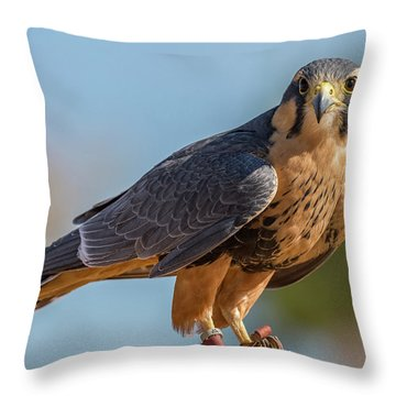 Peregrine Falcon Wildlife Art By Kaylyn Franks Throw Pillow