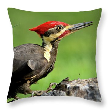 Pileated 2 Throw Pillow by Douglas Stucky