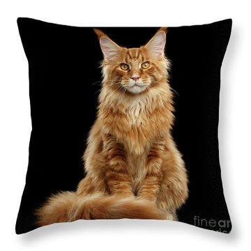 Portrait Of Ginger Maine Coon Cat Isolated On Black Background Throw Pillow
