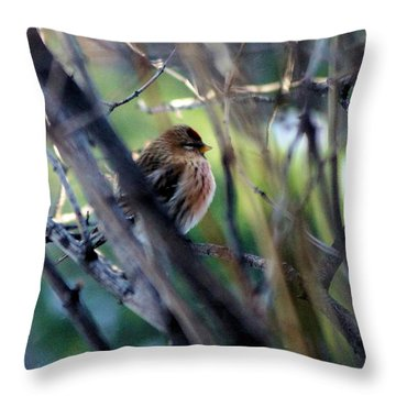 Red Poll, Resting Throw Pillow