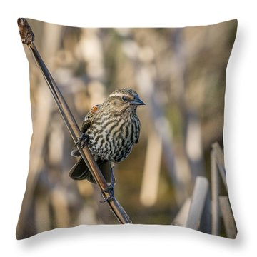 Throw Pillow featuring the photograph Red-winged Blackbird-female by Ken Stanback