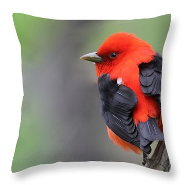 Scarlet Tanager Throw Pillow by Mircea Costina Photography