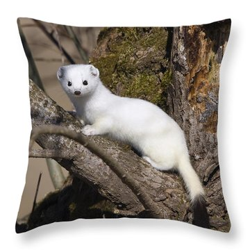 Short-tailed Weasel Mustela Erminea Throw Pillow by Konrad Wothe