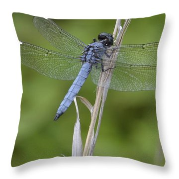 Spangled Skimmer Throw Pillow by Randy Bodkins