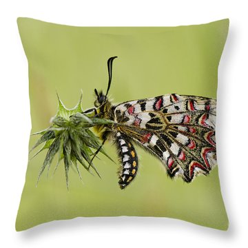 Spanish Festoon Butterfly Throw Pillow by Perry Van Munster