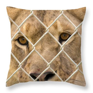 Staring Lioness Throw Pillow