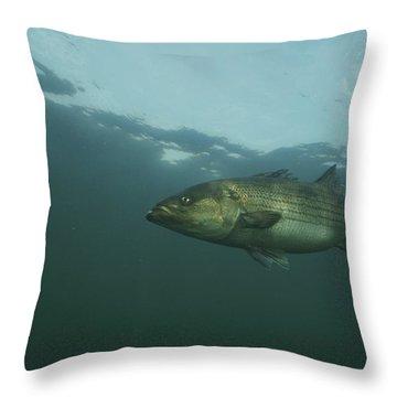 Striped Bass Throw Pillow by Bill Curtsinger