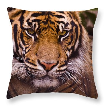 Sumatran Tiger Throw Pillow by Chad Davis