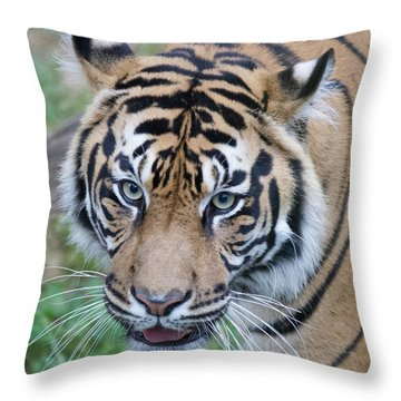 Sumatran Tiger Throw Pillow