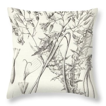 Throw Pillow featuring the drawing Taper Tip Hawksbeard, Crepis Acuminate by Antoine Sonrel